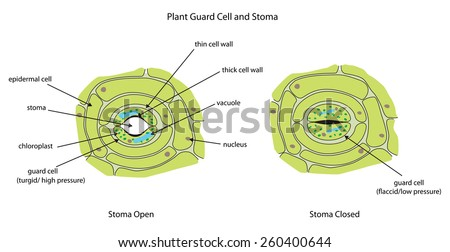 labeled diagram showing plant stoma open stock vector royalty free