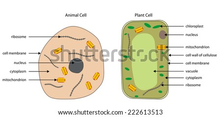 Labelled Diagrams Typical Animal Plant Cells Stock Vector Royalty