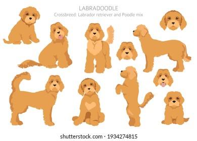 Labradoodle clipart. Different poses, coat colors set.  Vector illustration