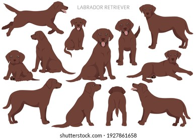 Labrador retriever dogs in different poses. Adult and puppy dogs.  Vector illustration