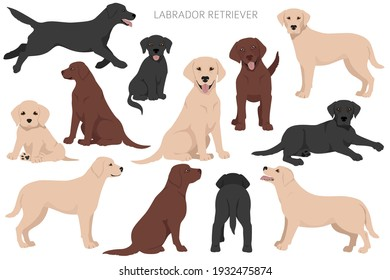 Labrador retriever dogs in different poses and coat colors. Adult and puppy dogs.  Vector illustration