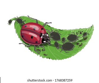 The ladybug insect eats aphids on a green leaf. Drawing isolated on a white background. Stock vector illustration.