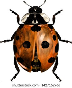 ladybug top view , sketch vector graphic color graphic illustration on white background in sketch style