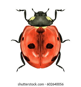 ladybug top view of a symmetric graph sketch vector color drawing
