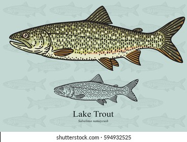 Lake Trout, Salmon trout. Vector illustration with refined details and optimized stroke that allows the image to be used in small sizes (in packaging design, decoration, educational graphics, etc.)