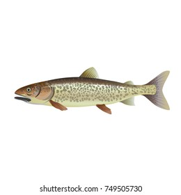 Lake trout. Vector illustration isolated on the white background