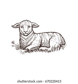 Lamb farm animal sketch, isolated lamb mammal on the white background. Vintage style. Vector illustration.