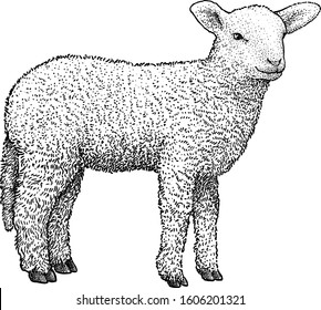 Lamb illustration, drawing, engraving, ink, line art, vector