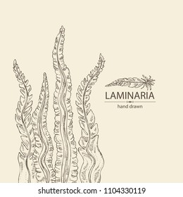 Laminaria: laminaria seaweed, sea kale. Brown algae. Edible seaweed. Vector hand drawn illustration.