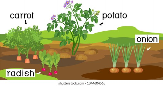 Landscape with vegetable garden. Potato, onion, carrot and radish plants with titles on garden bed