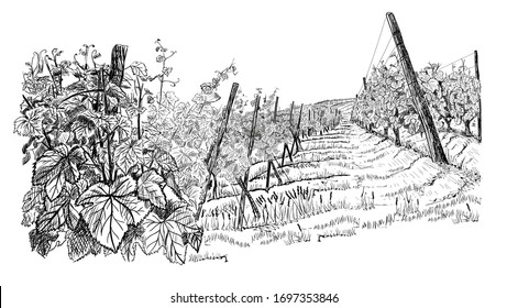 Landscape with of vineyard. Closeup bushes of grapes on hill. illustration in sketch style isolated on white background