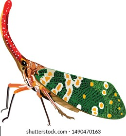 A lanternfly bug, Props candelaria cicada drawing vector