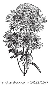A large genus, Japanese Anemone, of perennial herbs of the buttercup family has divided leaves and showy flowers without petals but with sepals also called windflower, vintage line drawing