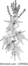A large herd known for its strong aroma & it is known as Vitex Negundo, vintage line drawing or engraving illustration.