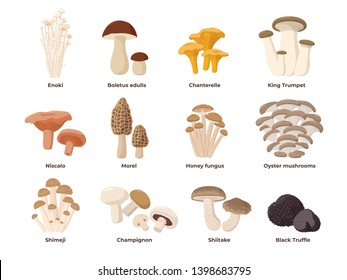 Large Mushroom set of vector illustrations in flat design isolated on white. Cep, chanterelle, honey agaric, enoki, morel, oyster mushrooms, King oyster, shimeji, champignon, shiitake, black truffle.