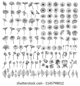 Large set of drawings Daisy, Dahlias, Zinnia and Gerbera flower with buds leaves and fern. Floral hand drawn botanical element illustration. Vector.