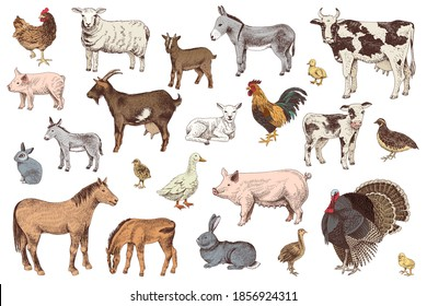 Large set of hand drawn farm animals with their babies - horse, ship, goat, cow, rabbit, turkey, pig, donkey, duck, hen and quail. Colorful vector illustration in retro style