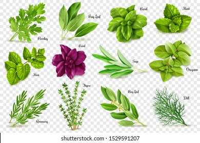 A large set of herbs on a transparent background, isolated objects, popular culinary plants, natural health care, mint and rosemary, basil, thyme, parsley, dill, bay leaf, oregano and sage