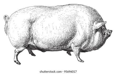 Large White pig or English Large White / vintage illustration from Meyers Konversations-Lexikon 1897