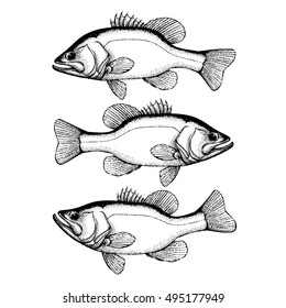 Largemouth bass fish hand drawn outline illustration. Bass fish in different pose. Vector isolated on white background.