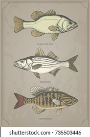 Largemouth, Smallmouth and Striped bass set. Hand drawn vintage vector illustration Isolated on retro texture background.