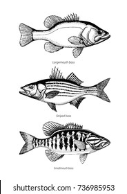 Largemouth, Smallmouth and Striped bass set. Hand drawn outline vintage vector illustration Isolated on retro texture background.
