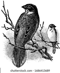 Lark Finch is a North American bird having a long graduated, vintage line drawing or engraving illustration.