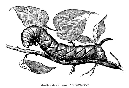 Larva of Privet Hawk Moth most resembles the sphinx of fable vintage line drawing or engraving illustration.