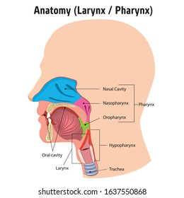 Larynx and internal pharynx anatomy human head, Legend. Ideal for training materials and medical education