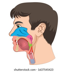 Larynx and pharynx anatomy human head anatomy illustration. Ideal for training materials and medical education