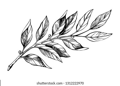 Laurel branch sketch. Botanical illustration, a branch of a plant with leaves. Hand drawn liner.