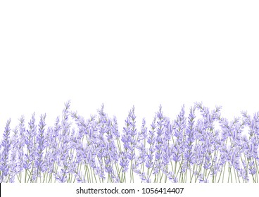 lavender flower filed  vector. floral isolate on white background.