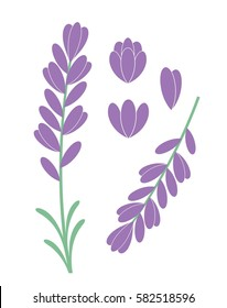 Lavender flower. Isolated lavender on white background illustration. EPS 10. Vector illustration