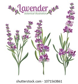 Lavender flower on white background. Colorful vintage vector illustration, watercolor style France provence retro pattern for romantic fresh design concept. Natural lavander aromatherapy treatment spa