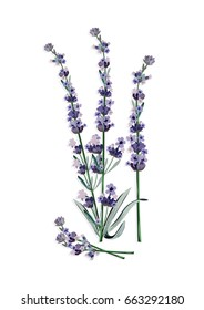 Lavender flowers isolated Vector. Gentle blossom floral bouquet. Vintage Label with lavender beautiful fragrance
