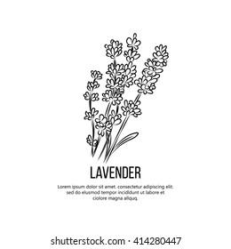 Lavender flowers vector illustration.