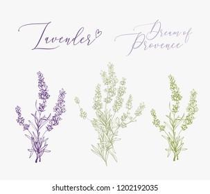 Lavender illustration with herbs and lettering. Watercolor outline vintage sketch on white background. Vector botanical paking or card design.