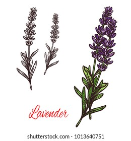 Lavender seasoning spice herb sketch icon. Vector isolated lavender herb plant for culinary cuisine cooking or flavoring herbal seasoning ingredient or grocery store and market design
