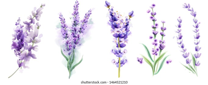 Lavender set Vector watercolor. Beautiful floral bouquets isolated on white illustration