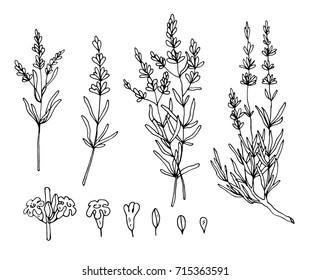 lavender sketch vector set