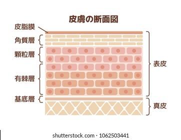 Layer of human skin illustration. translation:epidermis,dermis,sebum, stratum corneum,glanular cell layer,spinous layer,basal layer.