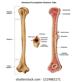 Layer of a Long bone. Humerus. Tube.