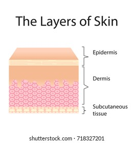 the layer of skin vector isolated on white background