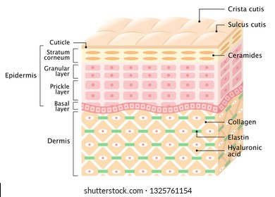 layers of the Human skin. skin care and health concept