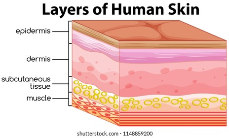 Layers of human skin concept illustration