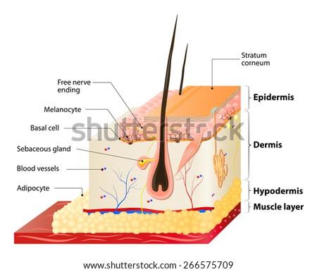 Skin Diagram Adipose Human Wiring Diagrams Best