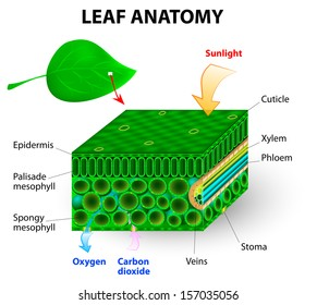 leaf anatomy vector diagram. photosynthesis. Chlorophyll is the molecule in leaves that uses the energy in sunlight to turn water and carbon dioxide gas  into sugar and oxygen