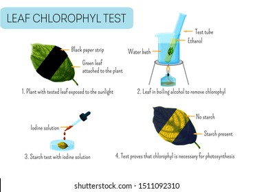 Leaf chlorophyll test. School scientific experiment proves photosynthesis in plants. Light exposure, boiling, iodine test for starch, color change.   Educational infographics. Vector illustration.