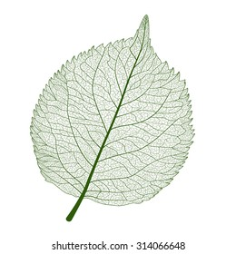 Leaf isolated. Vector