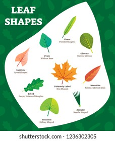 Leaf shapes vector illustration for kids. Beautiful labeled leave kinds collection with obovate, sagittate and palmately lobed examples. Named most biological visual differences and characteristics.